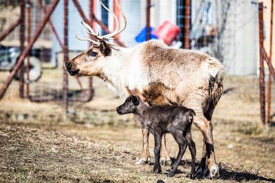 Reindeer at the UAF Forestry and Agricultural Experiment Station, April 2019. UAF photo by J.R. Ancheta