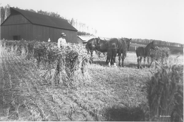 Historical photo, man with horses in field