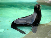 Northern Fur Seal. Source: Wikimedia commons