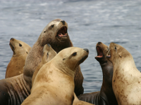 Stellar Sea Lions: Photo Credit USFWS