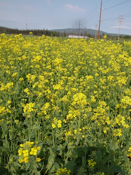 Deltana canola has been field tested by researchers at the Fairbanks Experiment Farm for the past several years.