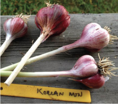 Korean Mountain is one weakly bolting Asiatic cultivar that has performed well in Southcentral Alaska. Photo by Julianne McGuinness