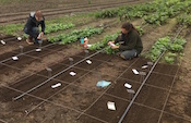 women planting spinach