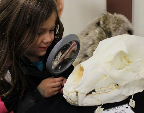 Child looking at a replica bear skull through a magnifying glass.