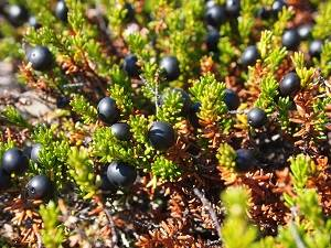 Crowberry plants with small black berries.