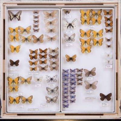 Butterfly and moth specimens in a drawer.