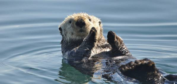 Sea otter floating on its back in water.