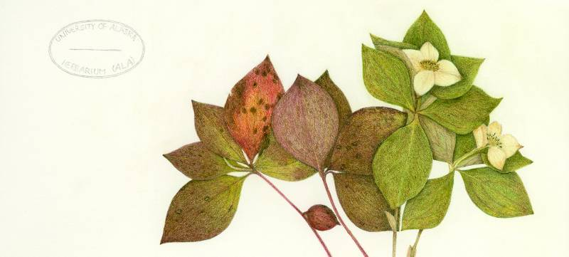 Drawing of Bunchberry