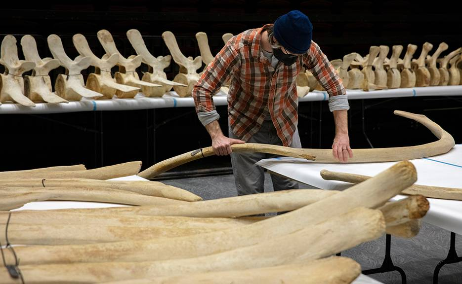 This spring, the museum is articulating and suspending a 43' Bowhead Whale skeleton from the lobby ceiling.