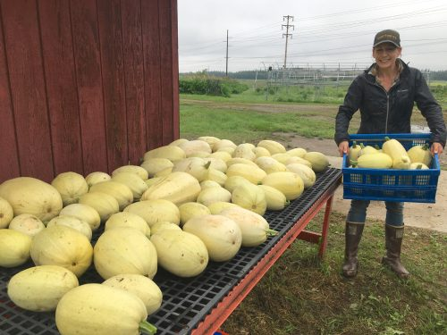 Agricultural and Forestry Experiment Station photo Research technician Nicole Carter helps harvests over 800 pounds of spaghetti squash as part of the 2020 vegetable variety trials at the Fairbanks Experiment Farm.