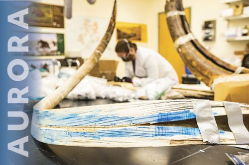 A woolly mammoth tusk is split lengthwise in a lab at the Alaska Stable Isotope Facility