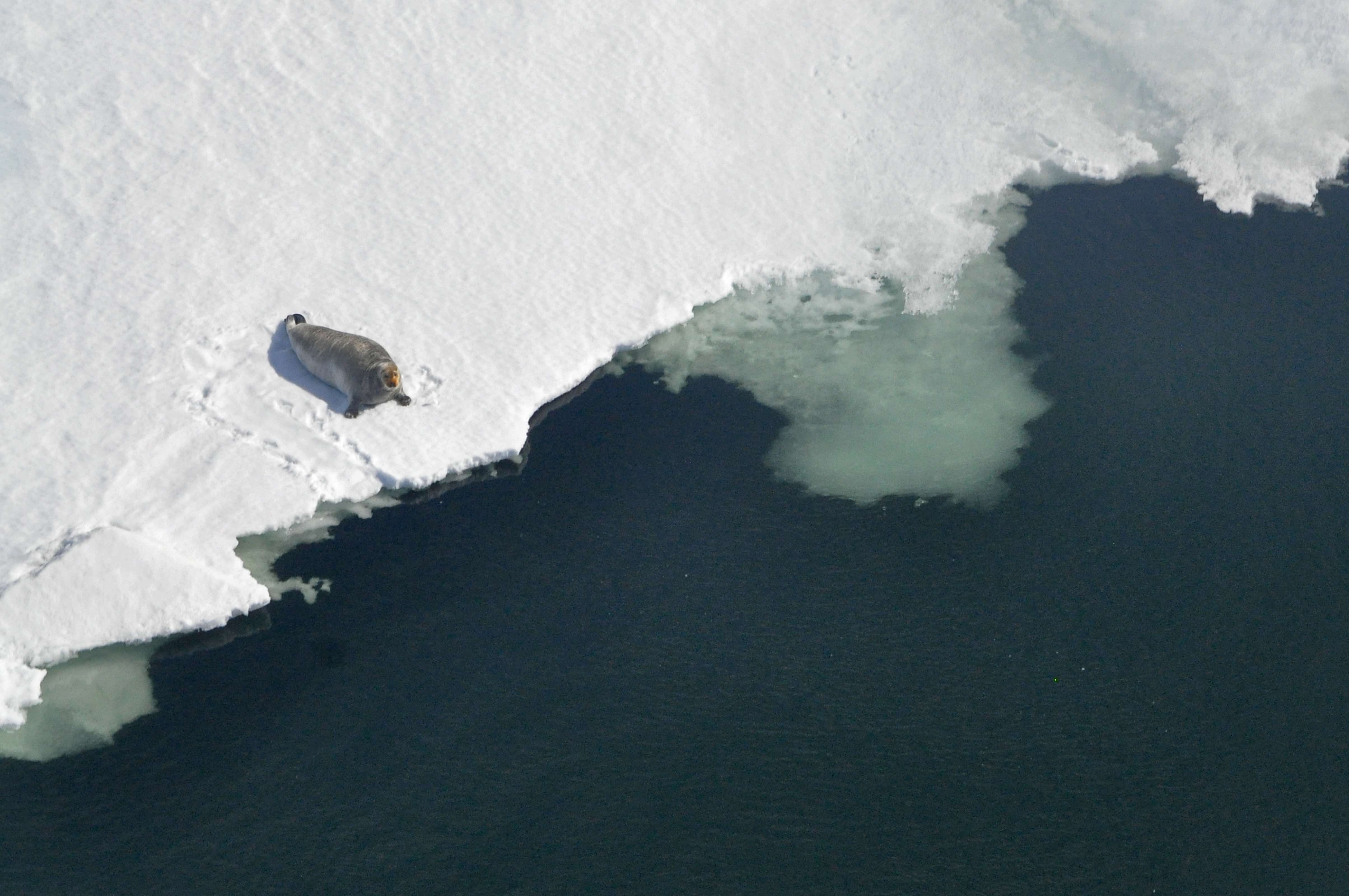 A seal rests on the edge of an ice floe in an aerial photograph.