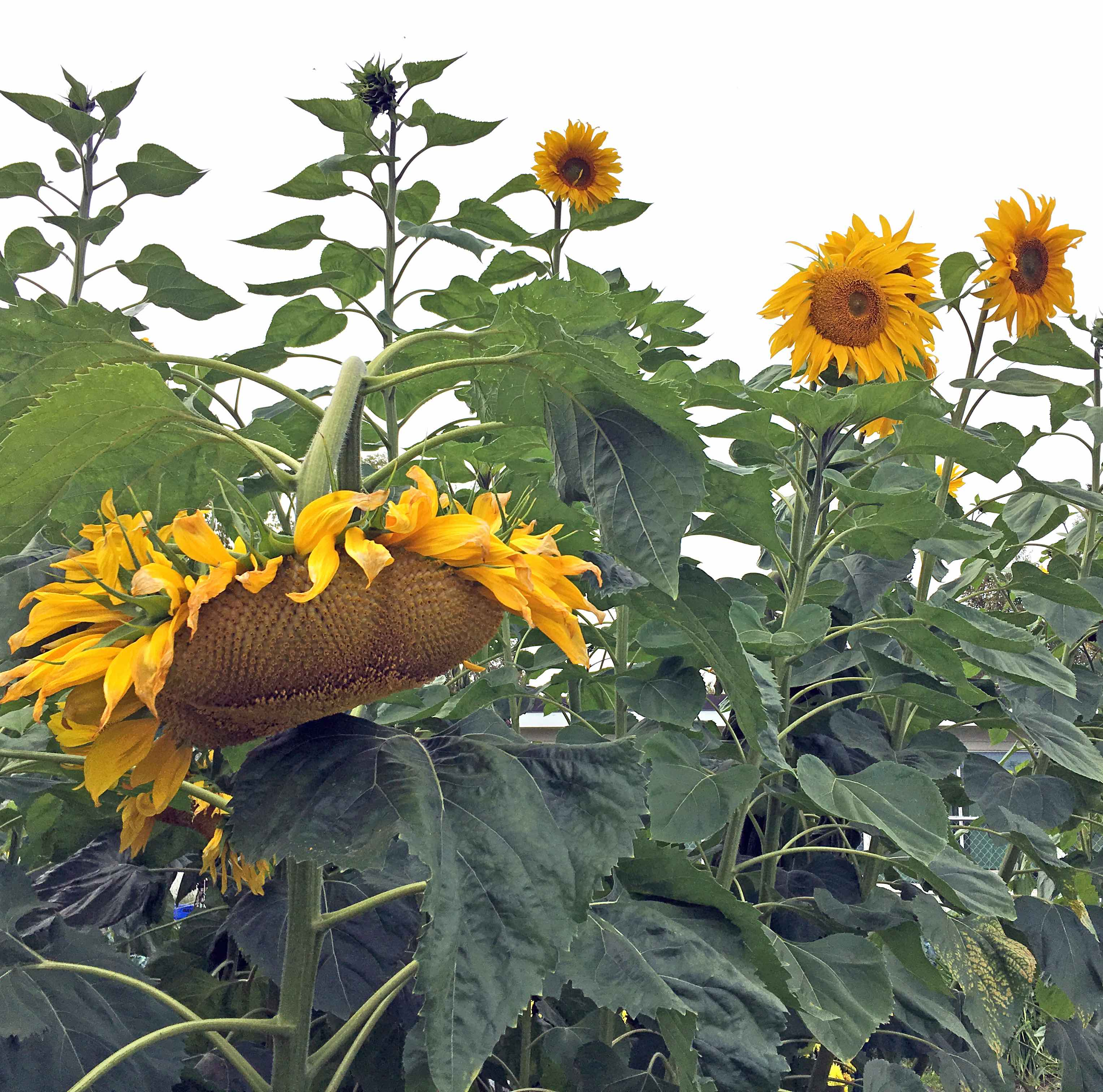 Several yellow sunflowers bloom on tall green leafy stalks.