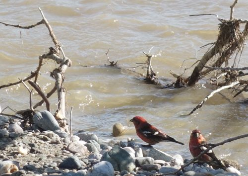 A pair of male white-winged crossbills drink from Jarvis Creek in Alaska
