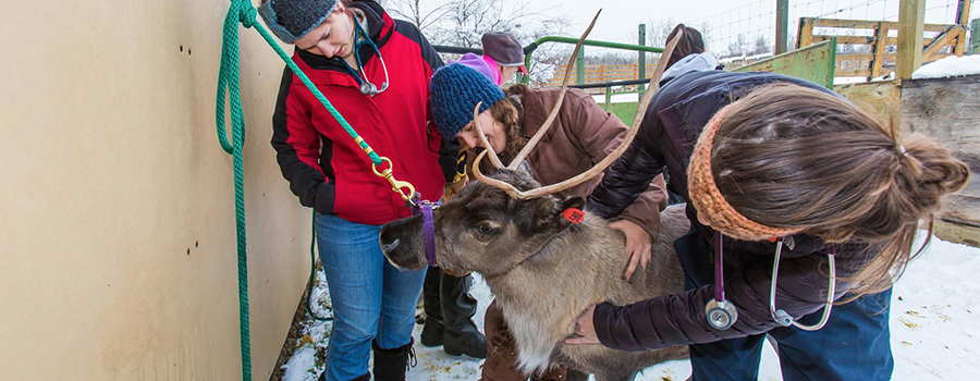 Studets checking the reindeer